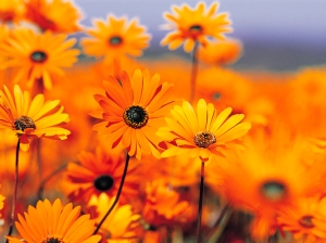 Flowers organge